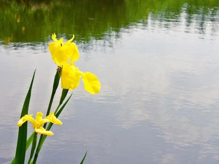 calamus:  A yellow iris blooms at river side