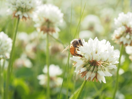 Honeybee on a clover flower Stock Photo - 13757658