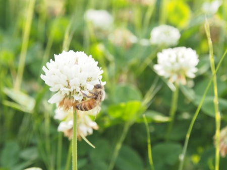 Honeybee on a clover flower photo