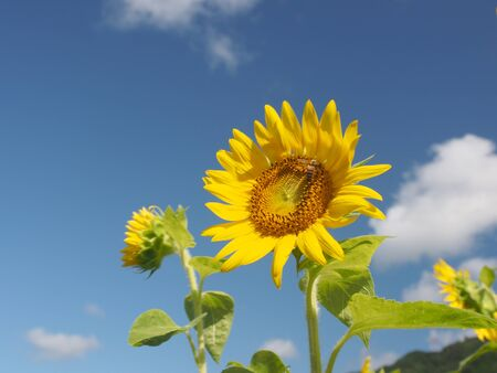 Sunflower and blue sky photo