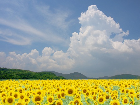 The field of sunflowers at the base of a mountain is in full bloom.  photo