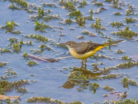 wagtail: Grey Wagtail in pond