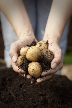 earth handful: A Double Handful of just picked Potatoes
