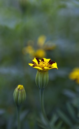 Close-up of a marigold photo