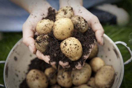 a colander: A handful of new potatoes in colander Stock Photo