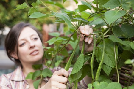 Horizontal pictue of woman picking home grown, organic runner beans Stock Photo - 8014789