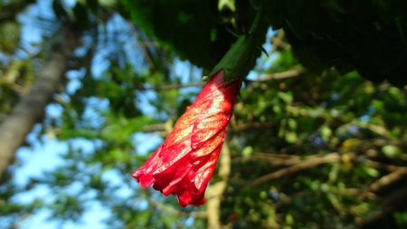 china rose: Bud of China Rose, about to be blossomed under the blue sky