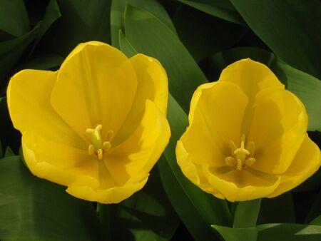 tulip Standard-Bild