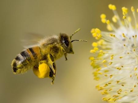 Latanie Bee Zdjęcie Seryjne