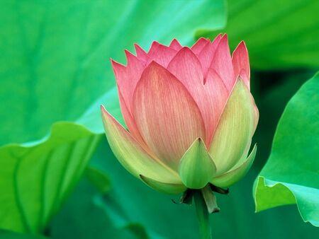 padma: lotus