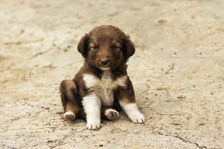 Cute arabic puppy dog is sitting on floor,  frontal and looking to  camera in the farm