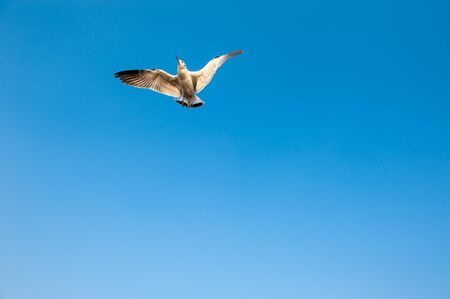 soaring: White seagull soaring in the blue sky
