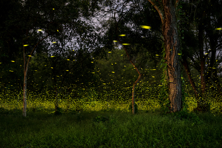 firefly flying at the forest in Thailand Foto de archivo