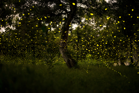 firefly flying at the forest in Thailand Stock Photo - 85556664