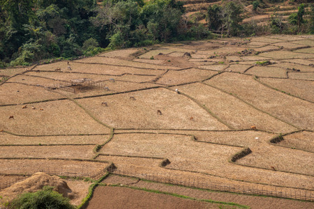 Landscape of field rice with animals in northern of Thailand