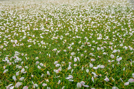 Pink flowers or Cherry blossom petals on green grass  ground