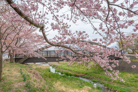 Cherry blossoms along walking path and wooden bridge at Kawaguchiko Lake during Hanami festival, Japan Фото со стока