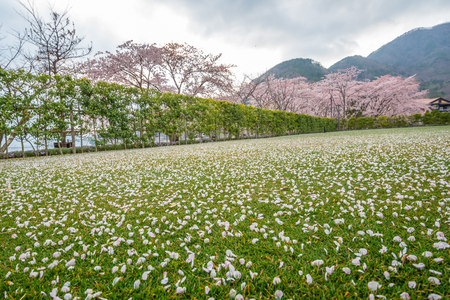 Pink flowers or cherry blossom and tree,Cherry blossom petals on green grass  ground