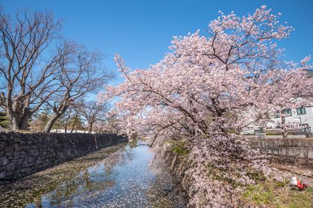 Cherry Blossom full bloom at Matsumoto castle , Nagano Prefecture, Japan