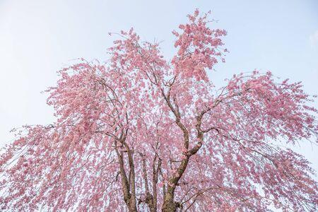 Cherry blossoms in full bloom , cherry blossom trees