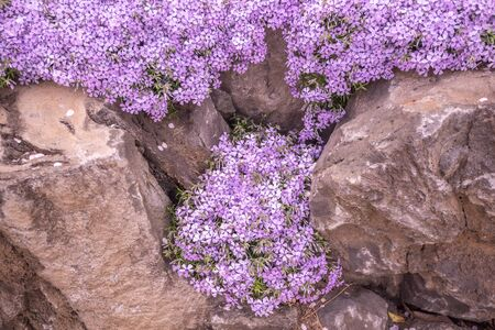 Spring background of small purple flowers