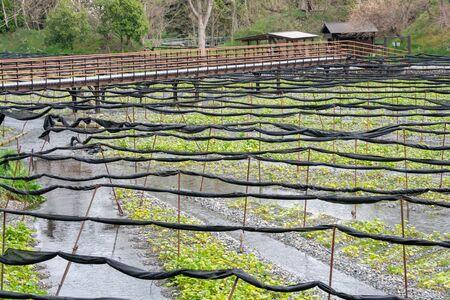 Azumino, Nagano, Japan - April 21, 2019 : View of Daio Wasabi Farm in Azumino, Nagano Prefecture, Japan. Zdjęcie Seryjne - 135907237