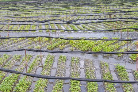 Azumino, Nagano, Japan - April 21, 2019 : View of Daio Wasabi Farm in Azumino, Nagano Prefecture, Japan. Zdjęcie Seryjne - 135907239