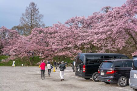 Nagano, Japan - April 21, 2019 : The people with car visiting light up of Cherry blossoms at Takato Castle Site Park in Nagano, Japan.