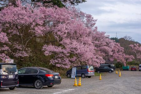 Nagano, Japan - April 21, 2019 : The people with car visiting light up of Cherry blossoms at Takato Castle Site Park in Nagano, Japan. Zdjęcie Seryjne - 135907241
