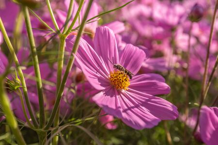 Beautiful pink cosmos flowers in the garden Bangkok Thailand Zdjęcie Seryjne - 136197302