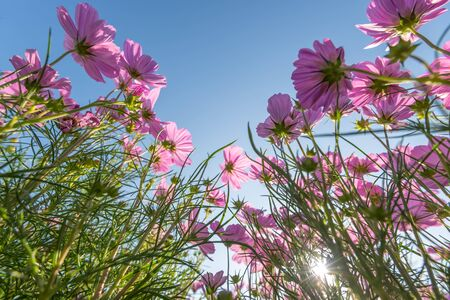 Beautiful pink cosmos flowers in the garden Bangkok Thailand
