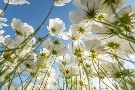 Beautiful white cosmos flowers in the garden Bangkok Thailand