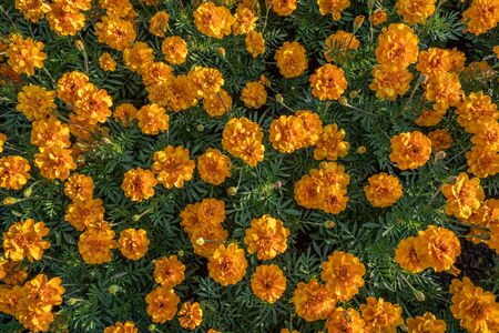 Marigold flower blooming in the garden Bangkok Thailand