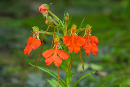 orange Habenaria rhodocheila hance wild orchid at waterfall in Thailand