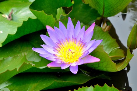 lotus in thai temple photo