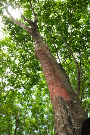 tapper: rubber forest