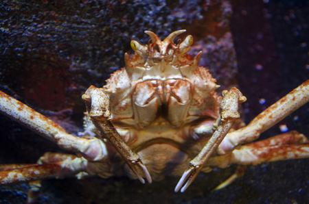 king crab photo
