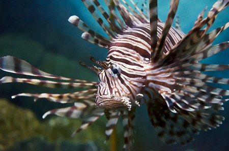 lion fish photo