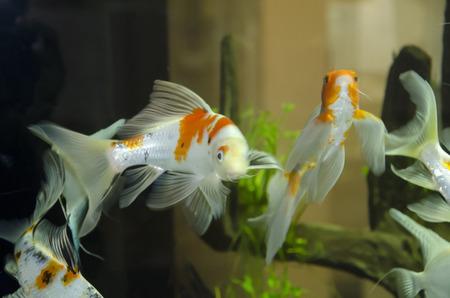 aequifasciatus: fish in aquarium