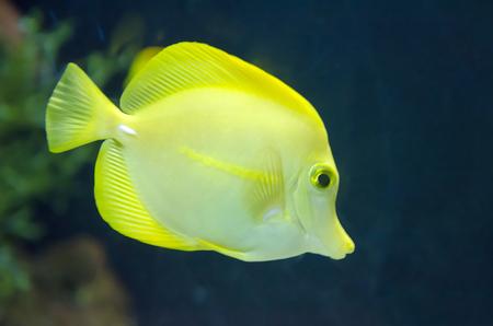 yellow tang: yellow fish