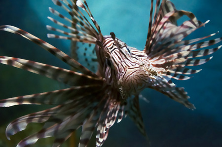lion fish Stock Photo - 30553765