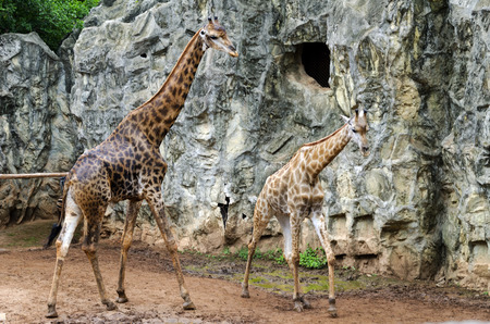 scarce resources: giraffes