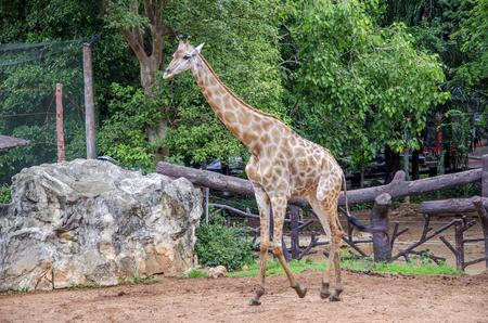 scarce resources: giraffe
