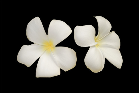 leelawadee: Plumeria or leelawadee flower