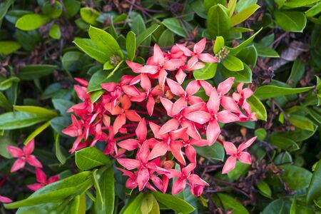ixora: Red Pink Ixora Flower