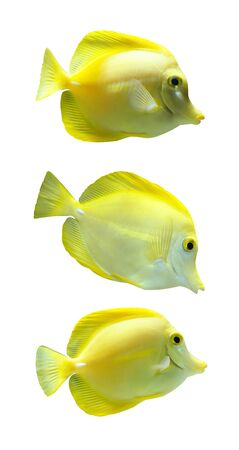 trigger: Yellow Trigger fish  isolated Stock Photo