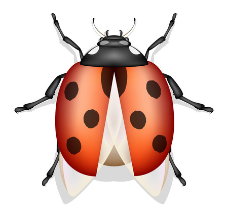 ladybug: ladybug insect vector isolated
