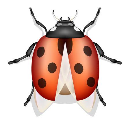 ladybug insect vector isolated