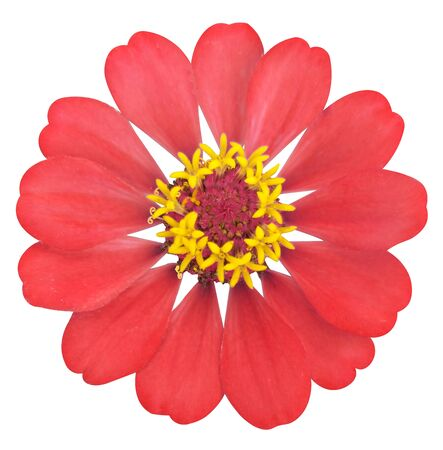 Red zinnia flower on white isolated  background Stok Fotoğraf