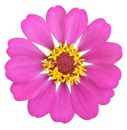 Pink zinnia flower on white isolated  background